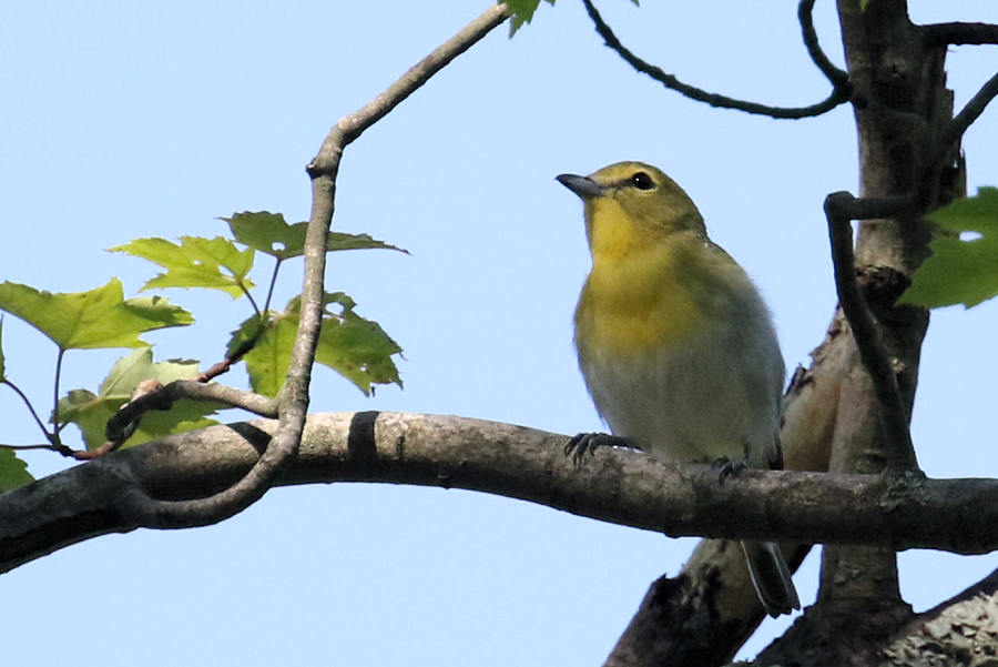 Yellow-throated Vireo, 2017-05-19 419