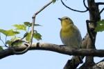 Yellow-throated Vireo, 2017-05-19 419