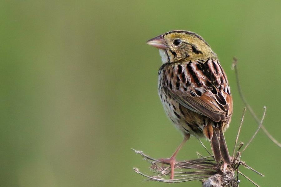 Henslow's Sparrow, Shawangunk Grassland NWR 2017-05-27 21