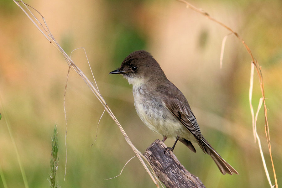 Eastern Phoebe, Garret Mountain 2017-05-28 9