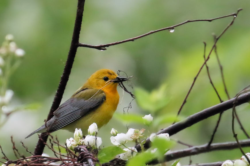 Prothonotary Warbler, Lord Stirling Park 2017-05-29 70