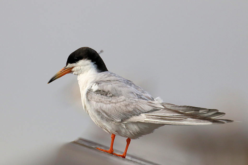 Forster's Tern, NJ Meadowlands 2017-08-04 184