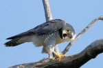 Peregrine Falcon, State Line Lookout 2017-08-26 84