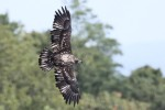 Bald Eagle, State Line Lookout 2017-09-19 134