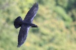 Common Raven, State Line Lookout 2017-09-21 163