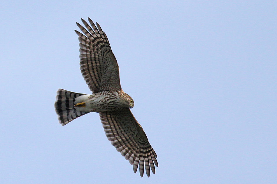 Sharp-shinned Hawk, State Line Lookout 2017-09-21 167
