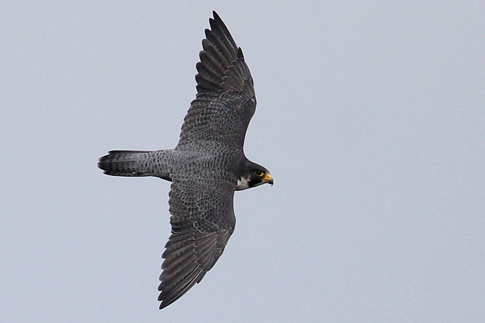 Peregrine Falcon, State Line Lookout 2017-09-21 245