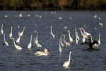 American White Pelican (