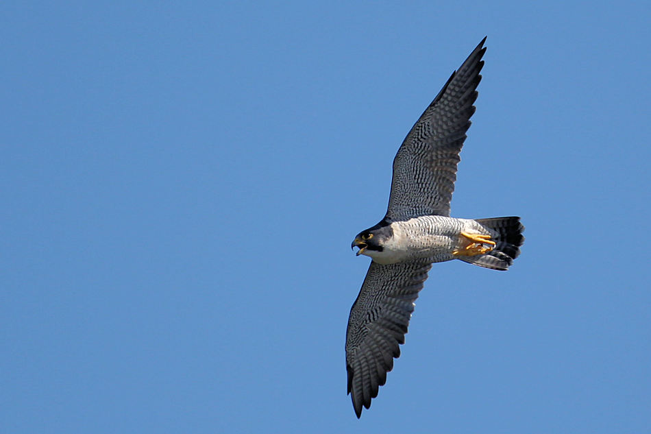 Peregrine Falcon, State Line Lookout   2017-09-27 468