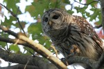 Barred Owl 2017-10-05 108