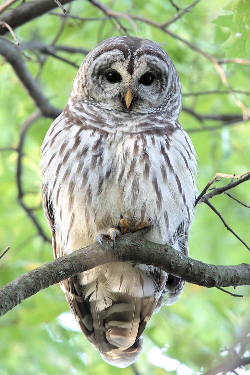 Barred Owl 2017-10-05 41