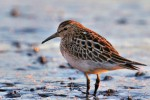 Pectoral Sandpiper, Meadowlands 2017-10-19 364