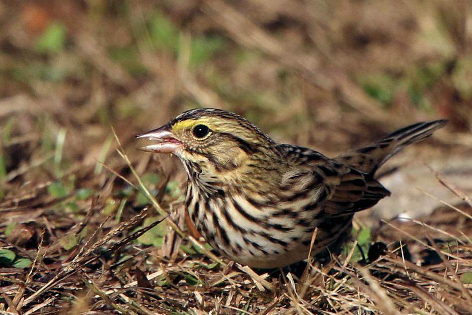 Savannah Sparrow, Allendale 2017-10-19 853