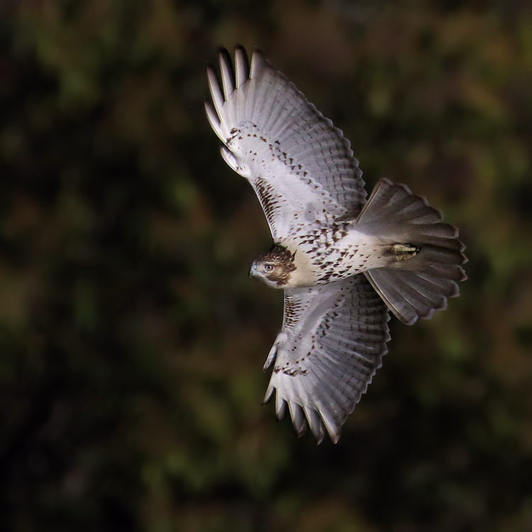 Red-tailed Hawk, State Line Lookout 2017-11-04 612