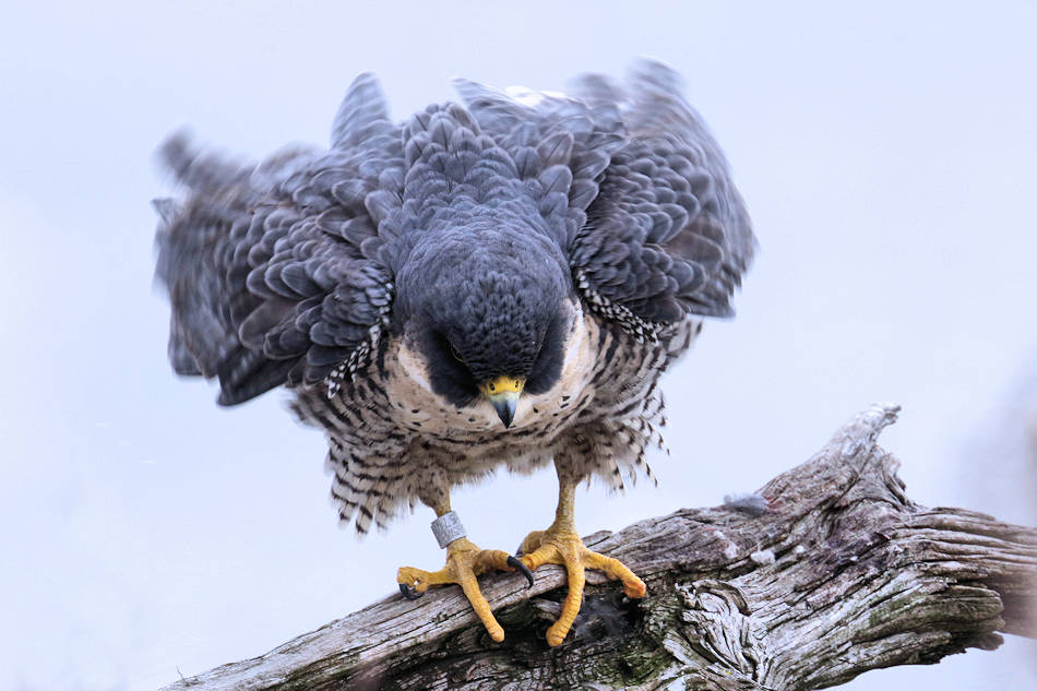 Peregrine Falcon, State Line Lookout 2018-01-09 130