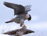 Peregrine Falcon, State Line Lookout 2018-01-09 159