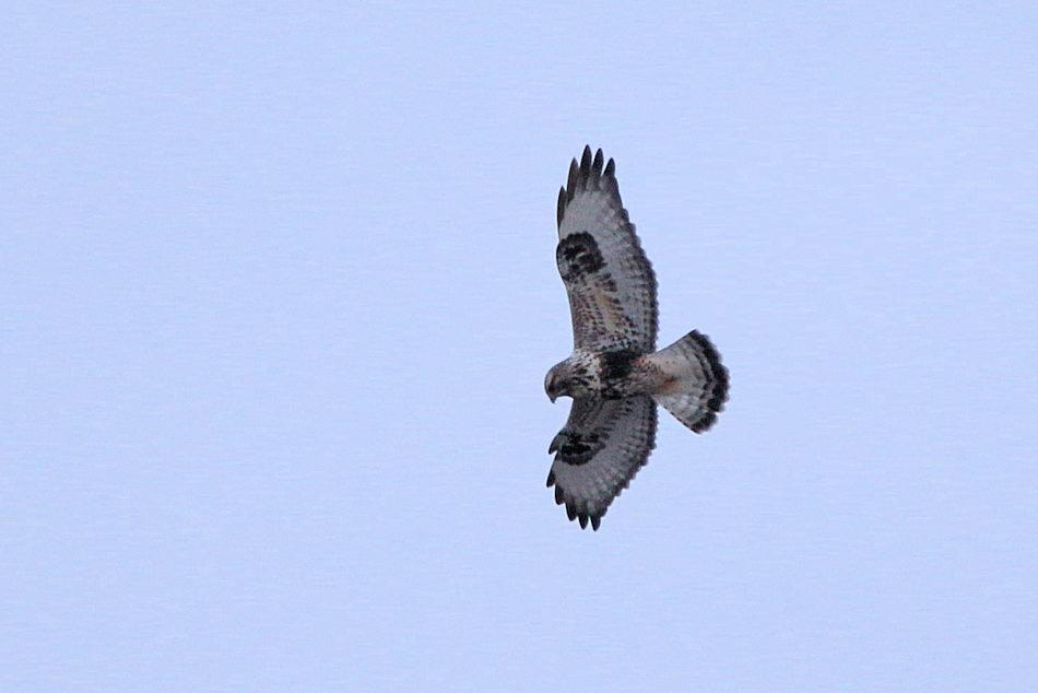 Rough-legged Hawk, Meadowlands 2018-01-19 176