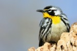 Yellow-throated Warbler, Garret Mtn 2018-04-23 239