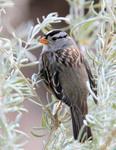 White-crowned Sparrow, Rio Grande Nature Center, Albuquerque