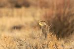 Western Meadowlark, Bosque del Apache