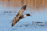 Northern Pintail, Bosque del Apache