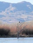 Bald Eagle, Harrier, Bosque del Apache
