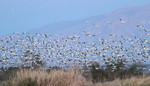 Snow and Ross's Geese taking off