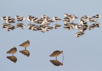 American Avocets, Marbled Godwits